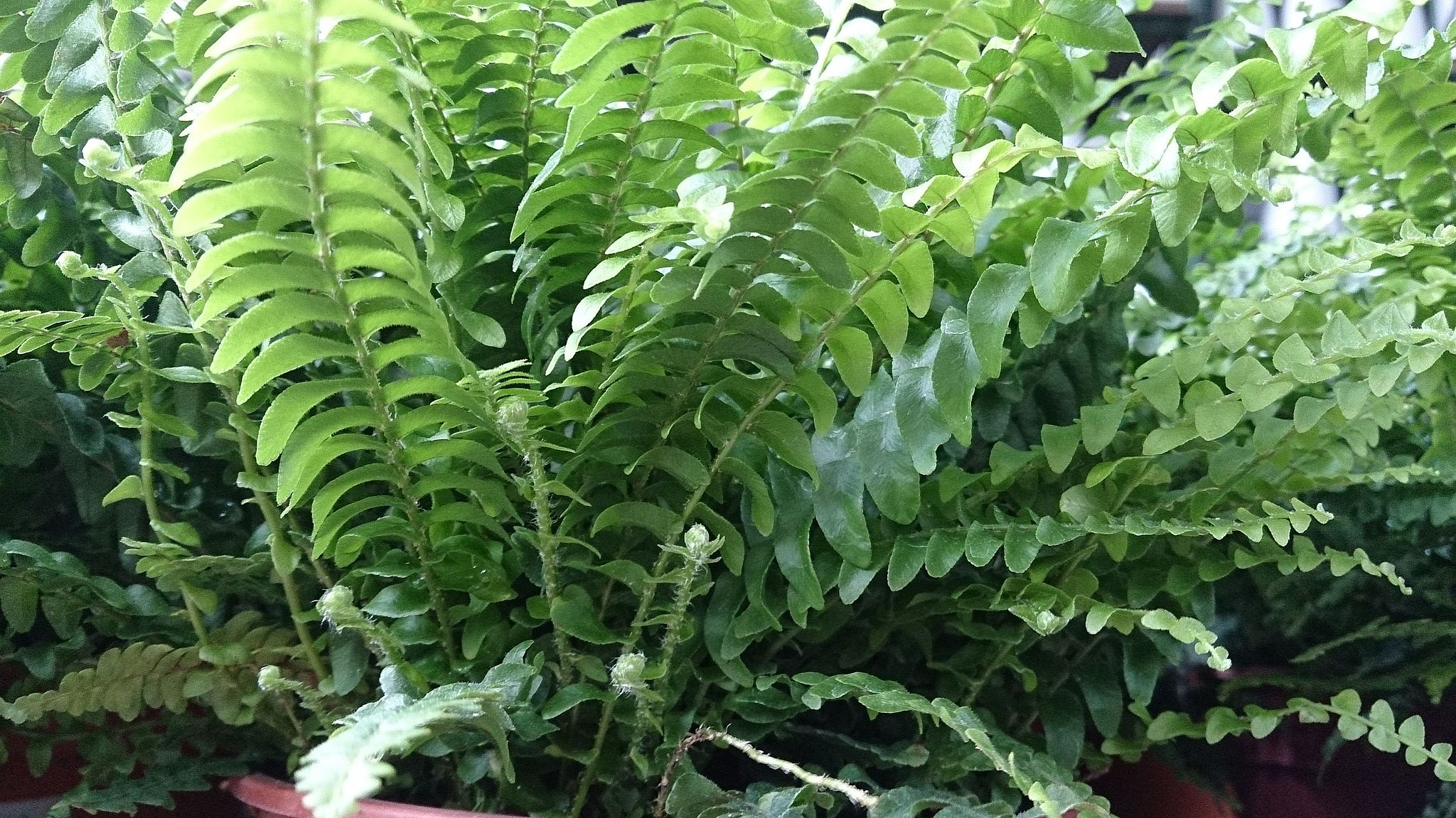 Boston_Fern_(Nephrolepis_exaltata)_1